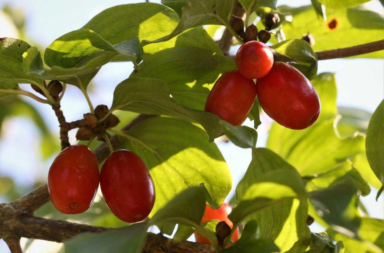 cornus mas sau cornelian cherry